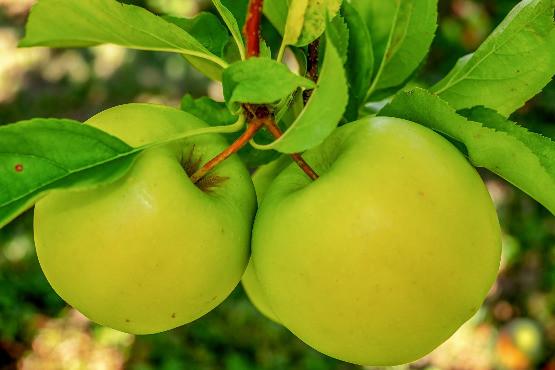 Étkezési rezisztens alma szakmai nap - 2018