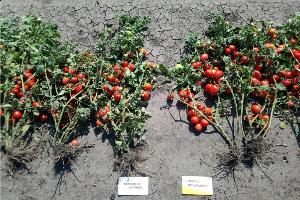 Huminsavas növénykondicionálás kertészeti kultúrákban