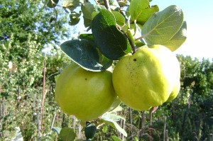 Birs- Régi, jellegzetes ízek újra felfedezése