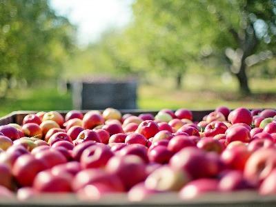 Étkezési rezisztens almafajták  szakmai nap és fajta bemutató - szeptember 20.