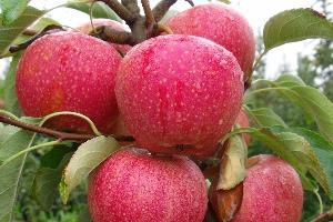 Hozam és minőségjavítás a gyümölcstermesztésben nanokészítménnyel Pinova almafajtán