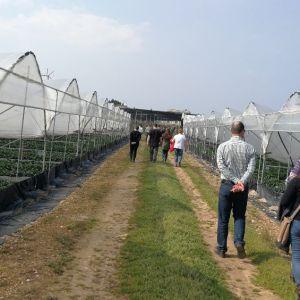 szamóca ültetvény