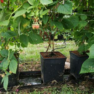 Alma, cseresznye, málna, áfonya