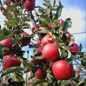 Étkezési rezisztens almafajták és fajtabemutató szakmai napok