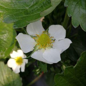 virágzó szamóca