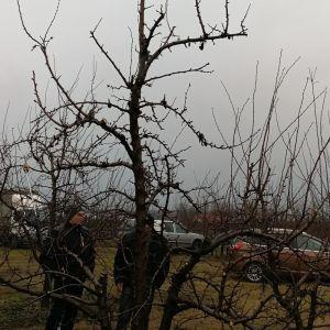 megmetszett fa