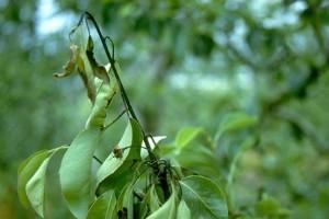 A tűzelhalás betegség az Erwinia amylovora